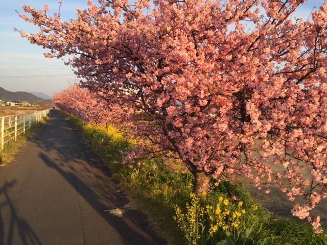 山の手桜②